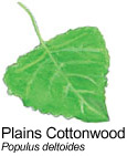 Plains Cottonwood - Populus deltoides