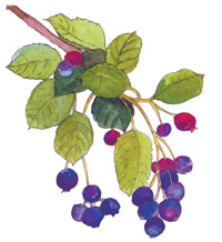 Serviceberry Illustration