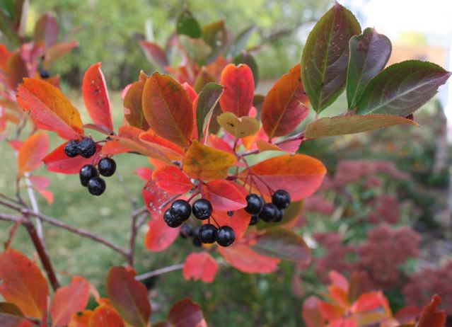 chokeberry in fall with berries 2
